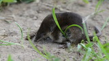 small mammal Common shrew Sorex araneus on summer grass