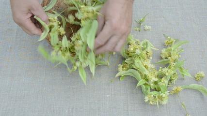 linden blossoms harvest on linen cloth
