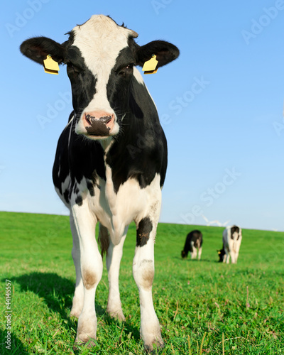 Fotobehang Koe Inquisitive Holstein Frisian cow