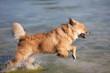 Elo-Welpe rennt durchs Wasser