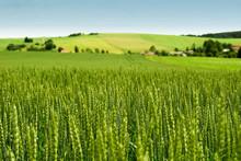"Постер, картина, фотообои ""Wheat field"""
