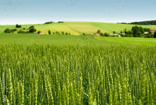 Wheat field - 44149186