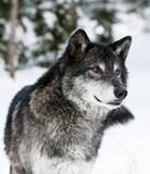 Fototapeta śnieg - zimny - Dziki Ssak