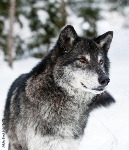Wolf - 44154178