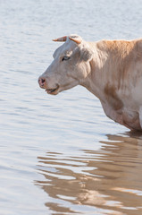 Portrait of a sleeping cow standing in water