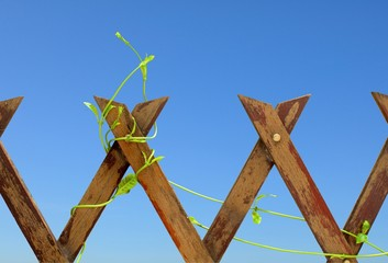 The wood fence with climbing plant on blue sky background