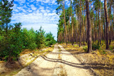 Fototapety The dirt road through pine forest