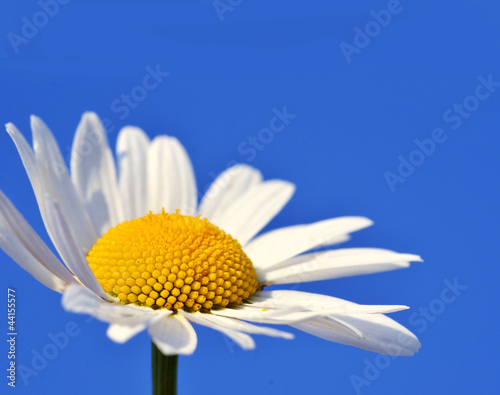 Daisy with blue sky