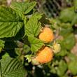 Gelbe Himbeeren - Rubus idaeus