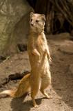Yellow mongoose at guard