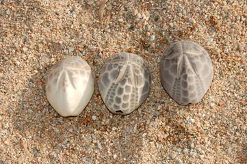 gusci di riccio di sabbia