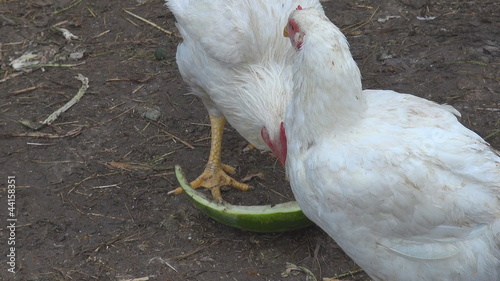 Chickens eating and resting
