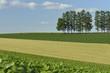 富良野の麦畑