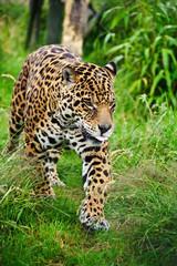 Stunning jaguar Panthera Onca prowling through long grass