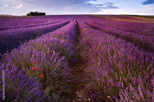 Beautiful lavender field landscape with dramatic sky - 44166914