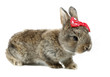 Gray rabbit bunny baby with red bow tie