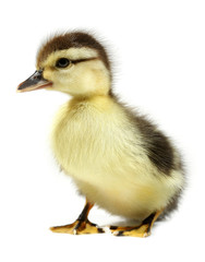 Duckling young baby duck