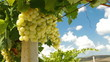 Bunches of Muscat White Grapes