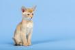 Katzen-Abessinier 0499