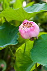lotus (water lily flower)