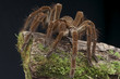 Leinwanddruck Bild - Goliath tarantula / Theraphosa lablondi