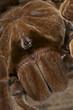 Birdeater tarantula / Theraphosa lablondi