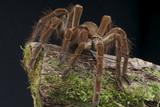 Goliath tarantula / Theraphosa lablondi poster
