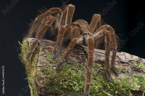 Leinwanddruck Bild Goliath tarantula / Theraphosa lablondi