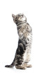 funny cat kitten standing on hind legs