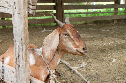 Local Thai goat in farmland corral
