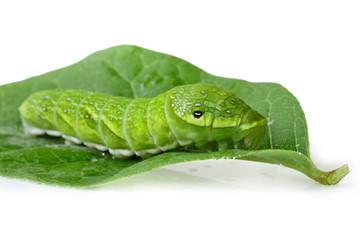 Green caterpillar Papilio dehaanii isolated on white