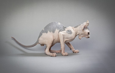 angry hairless cat