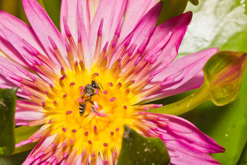 close up of lotus flower and bee
