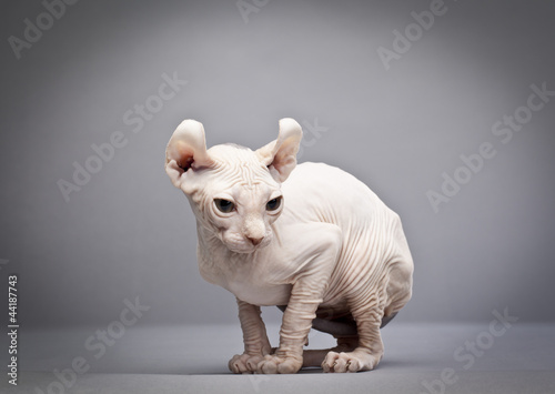 crouching hairless cat