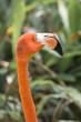 flamingos head