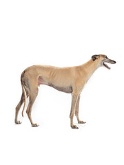 greyhound on white