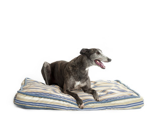 greyhound on bed