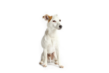 jack russell on white