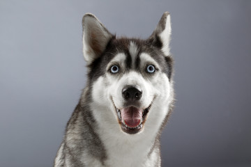 smiling husky in grey backgorund