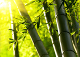 Fototapety Bamboo forest background. Shallow DOF