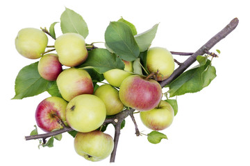 Real summer apples on branch