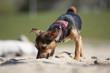 Kleinhund