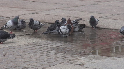 Many pigeons playing in water