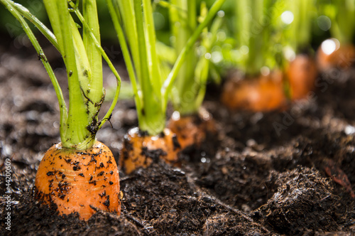 Fotobehang Groenten Macro shot of Carrots in dirt
