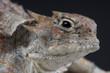 Desert horned lizard / Phrynosoma platyrhinos