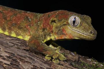Mossy giant gecko / Rhacodactylus chahoua