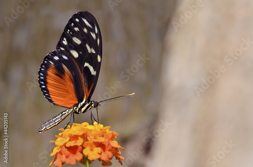 Tiger Longwing butterfly feeding on flower