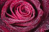 Fototapeta fioletowy - miłość - Kwiat