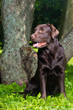 young chocolate labrador retriever sitting in a park