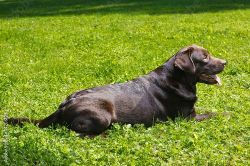young chocolate labrador retriever lying on green grass